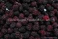 IQF Blackberry Strawberry Blueberry
