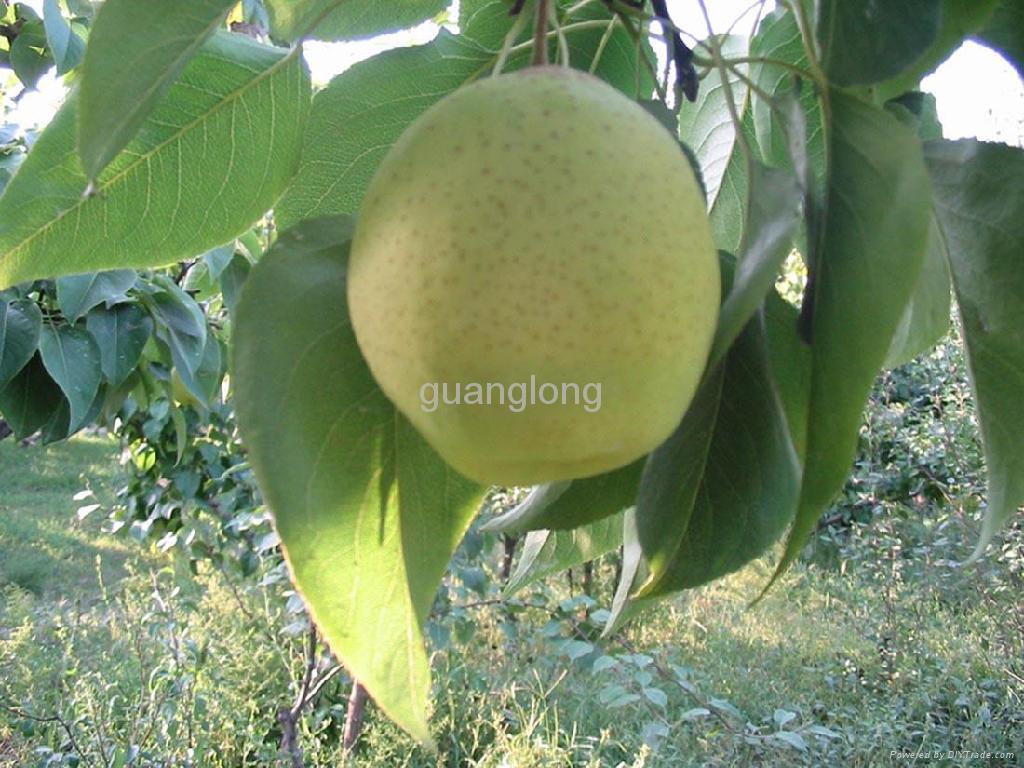 Ya pear 3