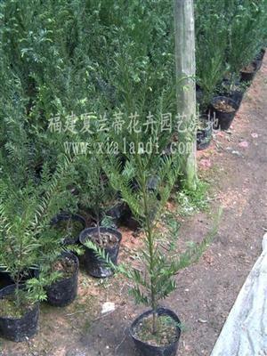紅豆杉營養袋苗 1