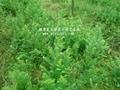 紅豆杉營養袋苗 2