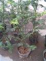 紅豆杉營養袋苗 3