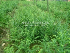 紅豆杉小苗