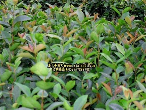 油茶樹苗 2
