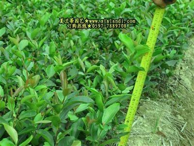 油茶樹苗 3