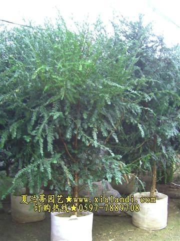 紅豆杉盆景 1