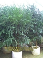 紅豆杉盆景