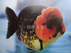 黛斑鱗三色蘭壽