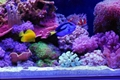 Cheap Waterproof Flexible LED strip light for aquarium 453nm blue color 2