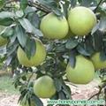 grapefruit 2
