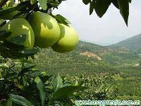 fresh pomelo 2