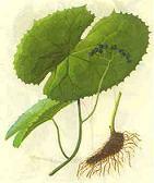 Sinopodophylum hexandrum P.E