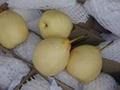 Ya Pears 2