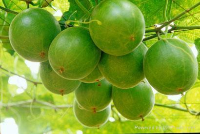 Ginkgo Leaf P.E 1