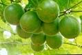 Ginkgo Leaf P.E