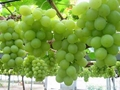 Early Sweet Seedless Grapes