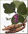 Pueraria (Kudzu Root) P. E. 40%