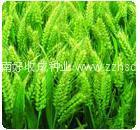 国审GS4185小麦种子