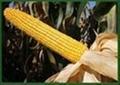 潤農88 玉米種子