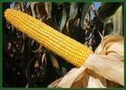 润农88 玉米种子