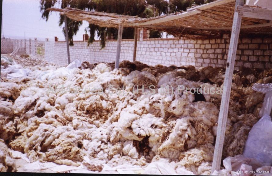 Sheep Wool (Greasy & Washed) 5