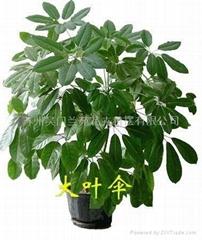 供應蘇州綠化盆栽植物花卉租擺