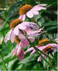 Echinacea purpurea P.E