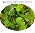 Pennywort Herb