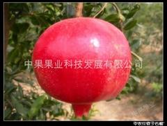 软籽石榴苗/中农红软籽石榴