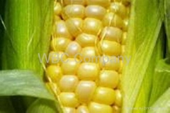 Brazilian yellow Maize, crop.2008/2009