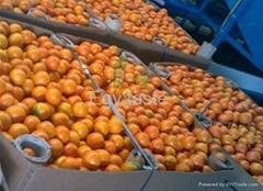 Egyptian Oranges Bins by Fruit Li nk