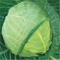 Globe shape cabbage seeds 6236