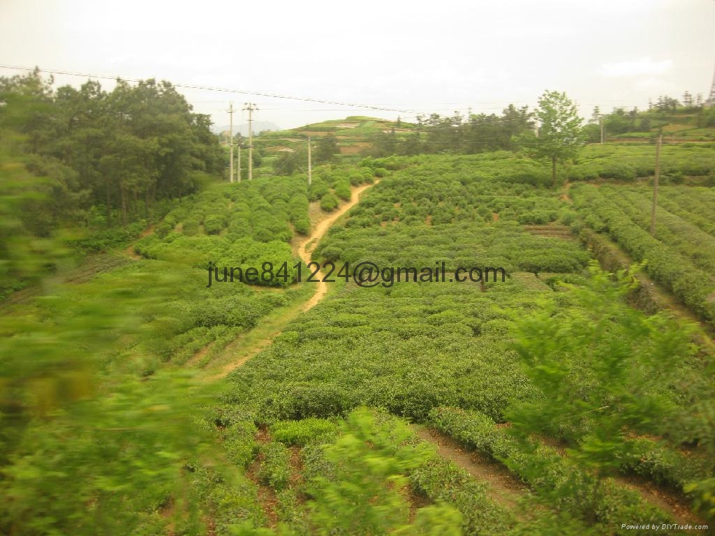 High quality China green tea dragon longjing well tea lungching tea cha 3
