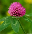 Red Clover Extract 4:1