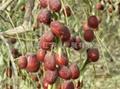 Chinese dates(Hui-jujube) 5