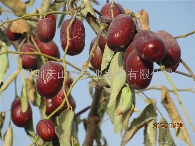 Chinese dates(Jun-jujube) 2