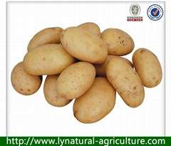 2013 New Crop Potato of High Quality
