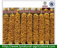 2013 New Harvest Yellow Corn