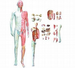 Anatomy of the human body attached to the visceral level model