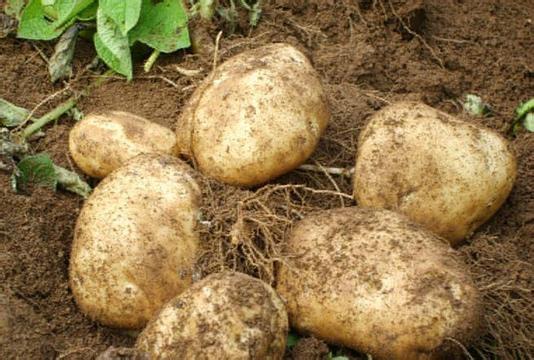 Fresh Potato 2