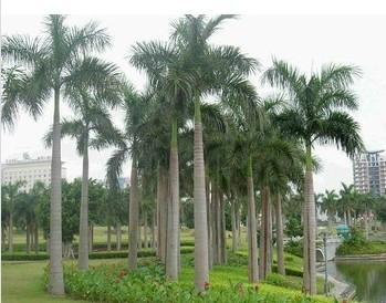Artificial Roystonea regia tree coconut tree outdoor and indoor decoration 4