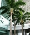 Artificial Roystonea regia tree coconut tree outdoor and indoor decoration 5