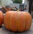 Artificial big Pumpkin for Decoration Thanksgiving gift halloween gift  4