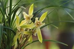 cymbidium georingii plant C10