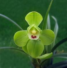 cymbidium georingii plant C6
