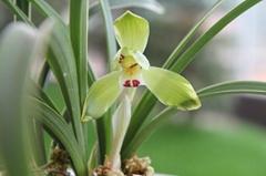 cymbidium georingii plant C4