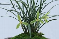 cymbidium georingii plant C3