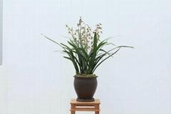 cymbidium georingii plant M9