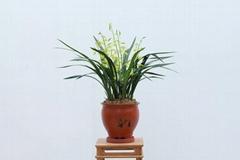 cymbidium sinense plant M8