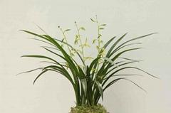 cymbidium sinense plant M5
