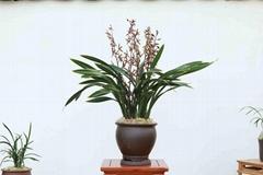 cymbidium sinense plant M4